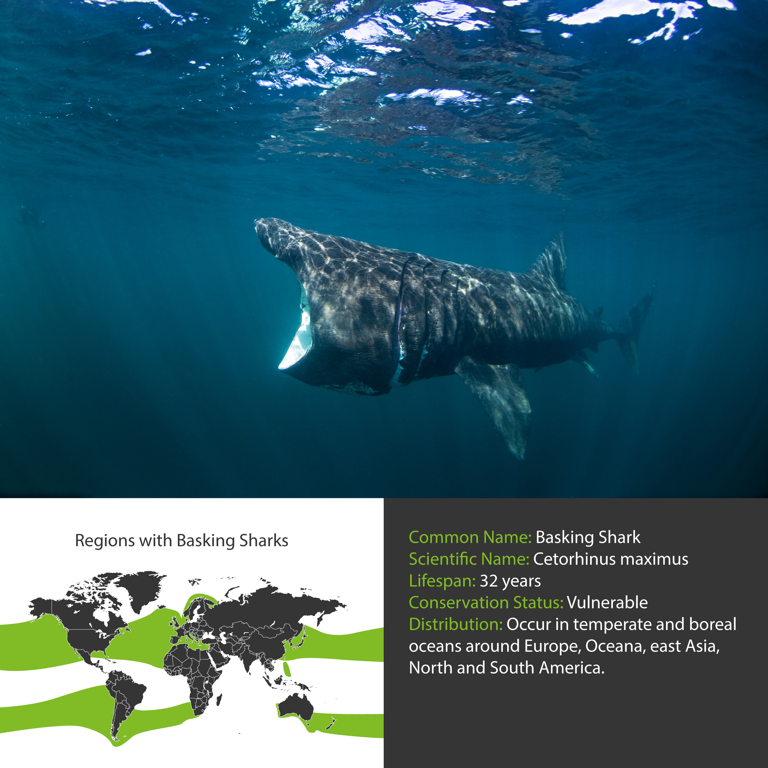Basking Shark Distribution