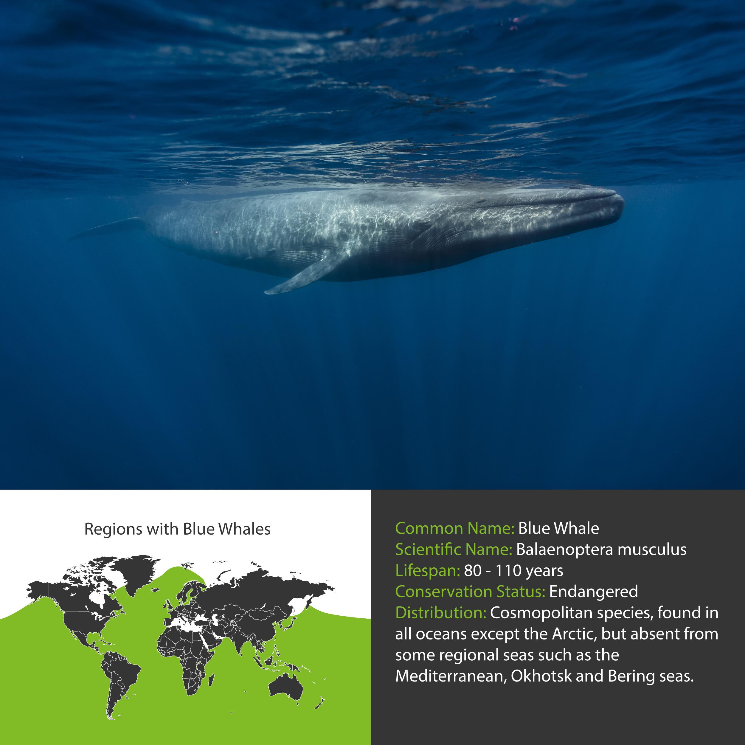 Blue Whale Distribution