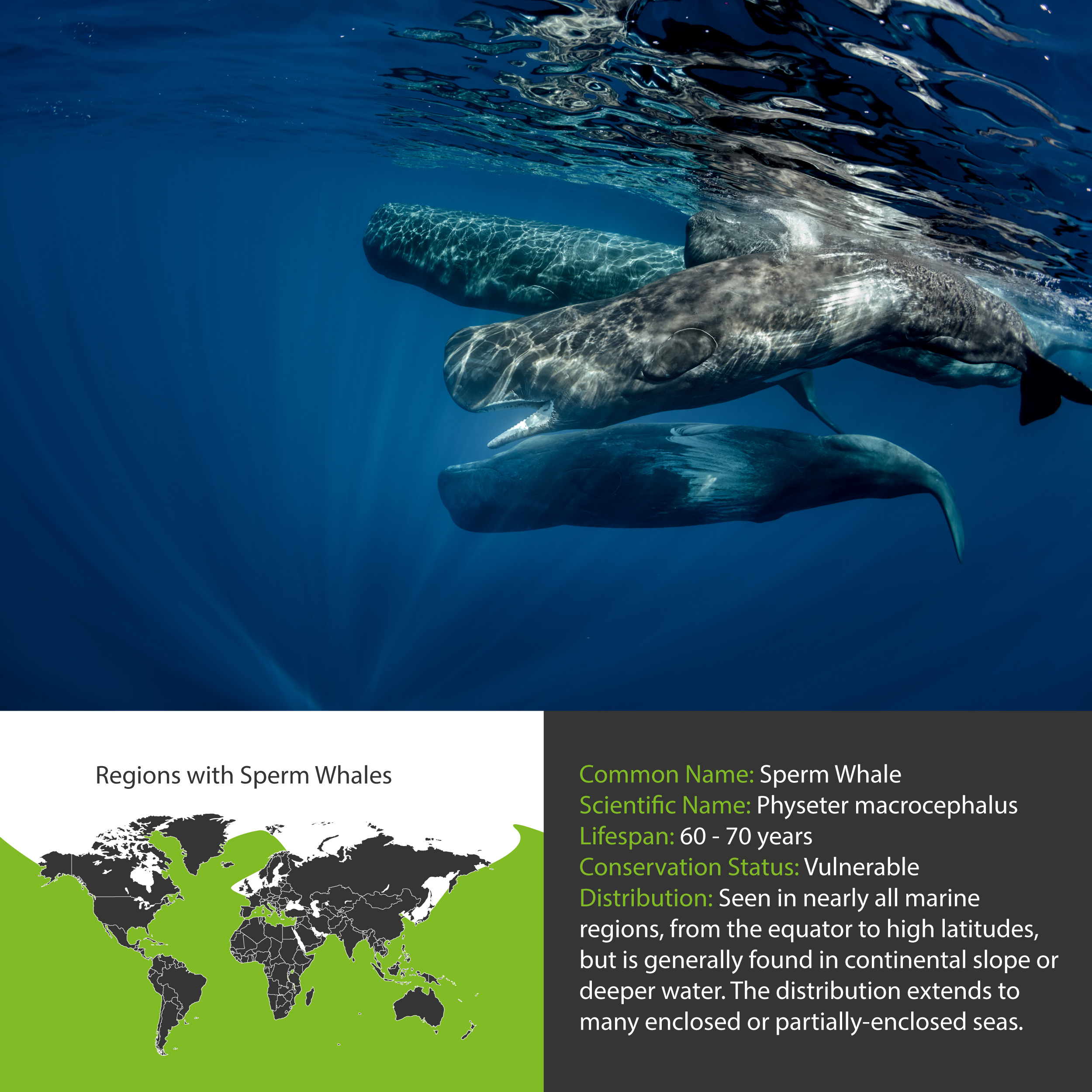 Sperm Whale Distribution