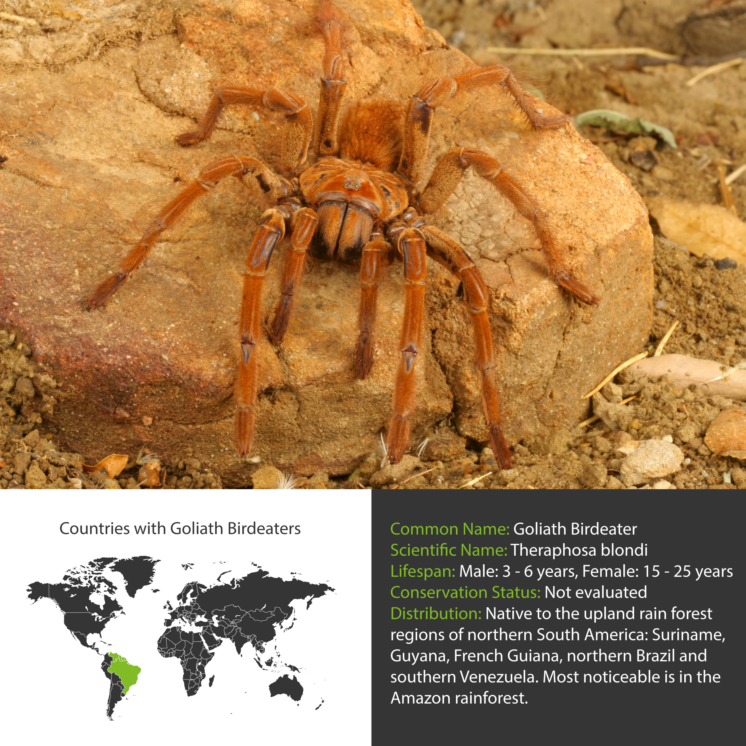 Goliath Birdeater Facts