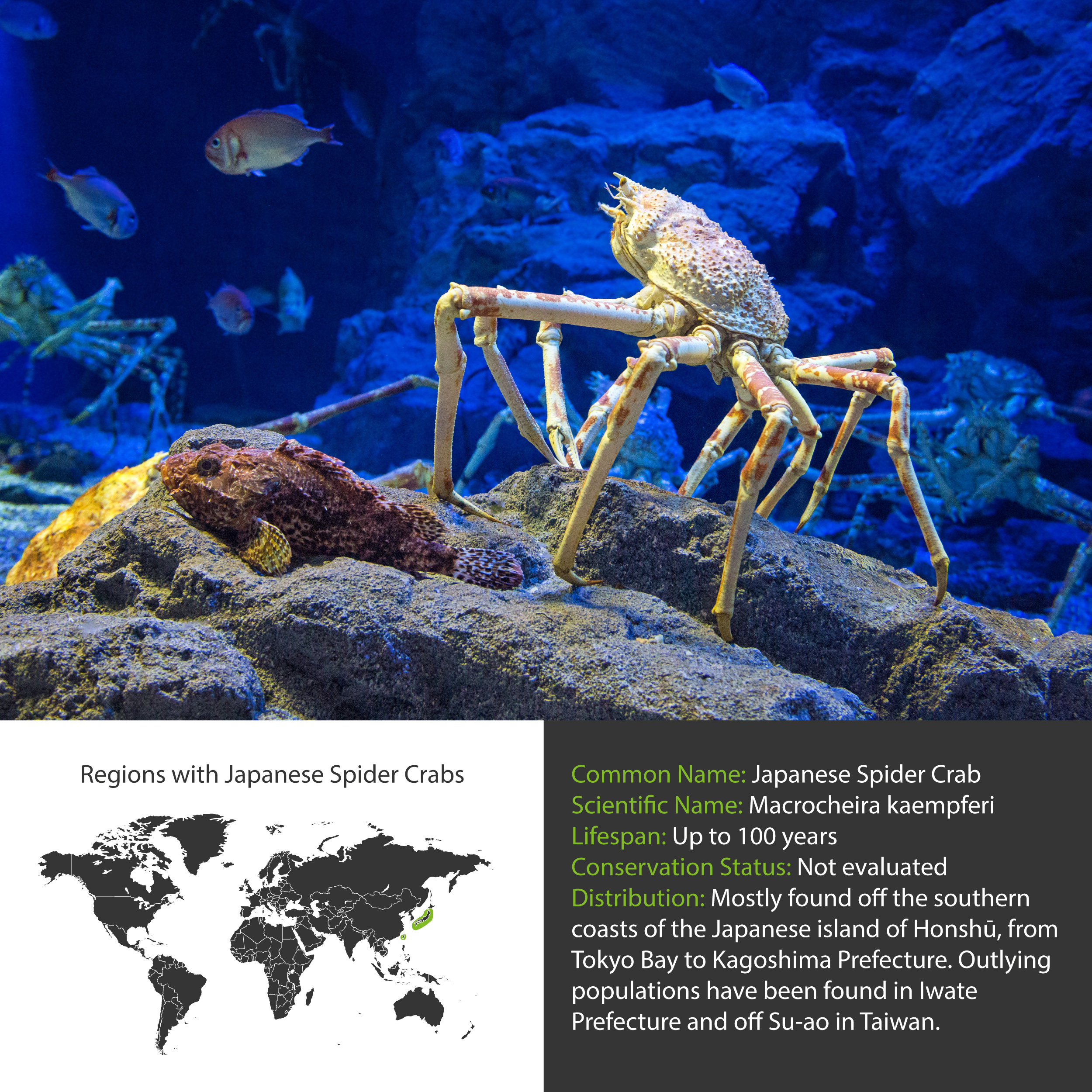 Japanese Spider Crab Facts