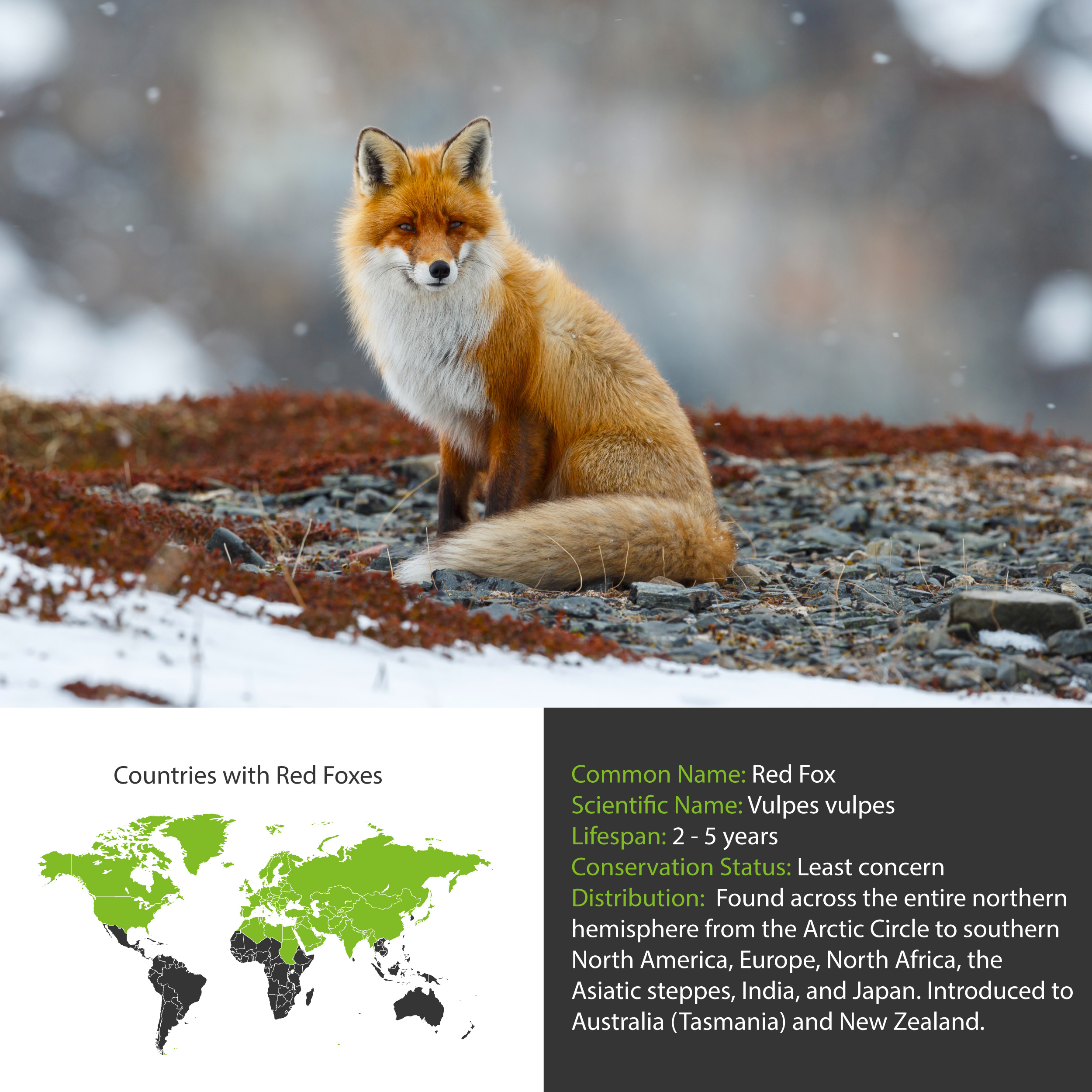 Red Fox Distribution
