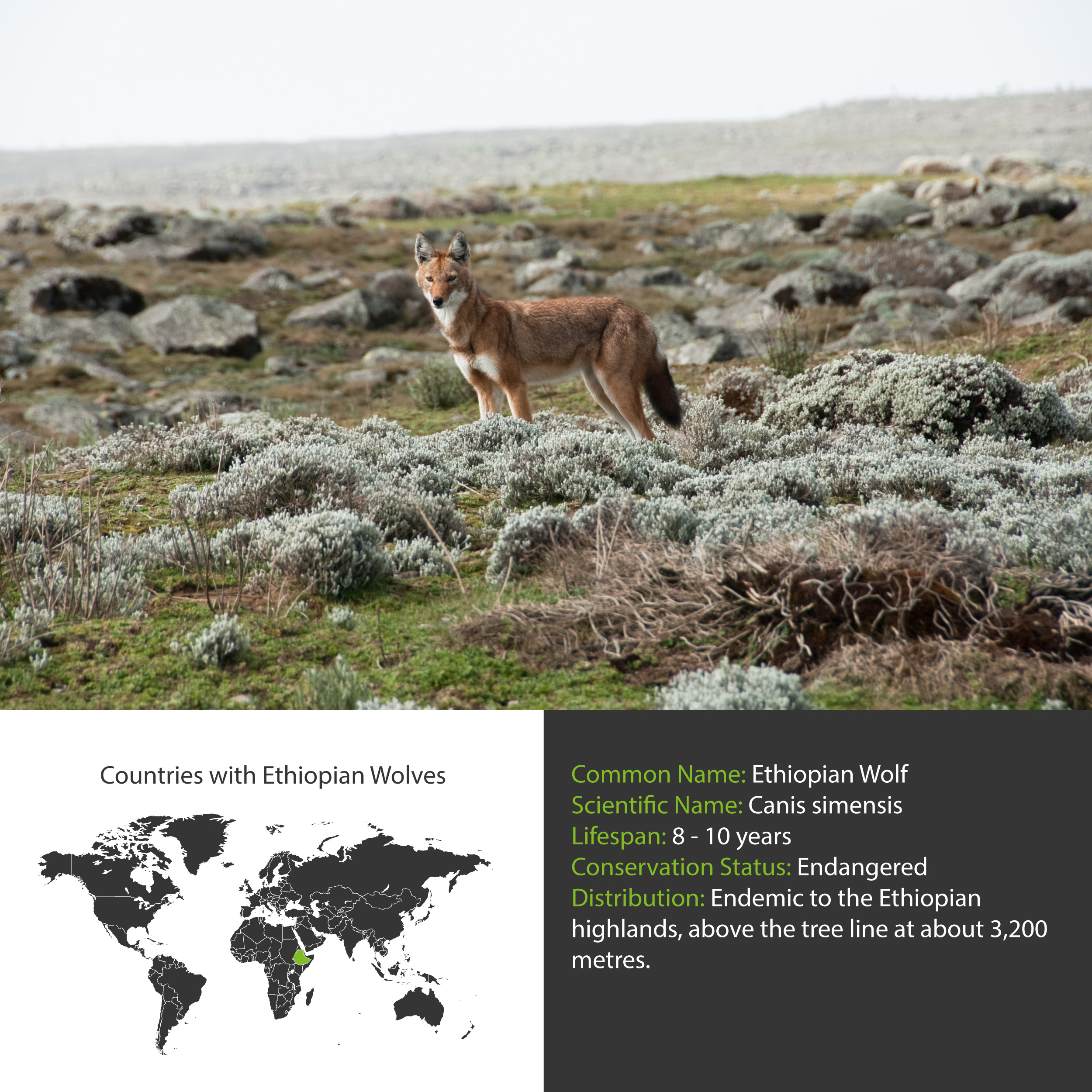 Ethiopian Wolf Distribution