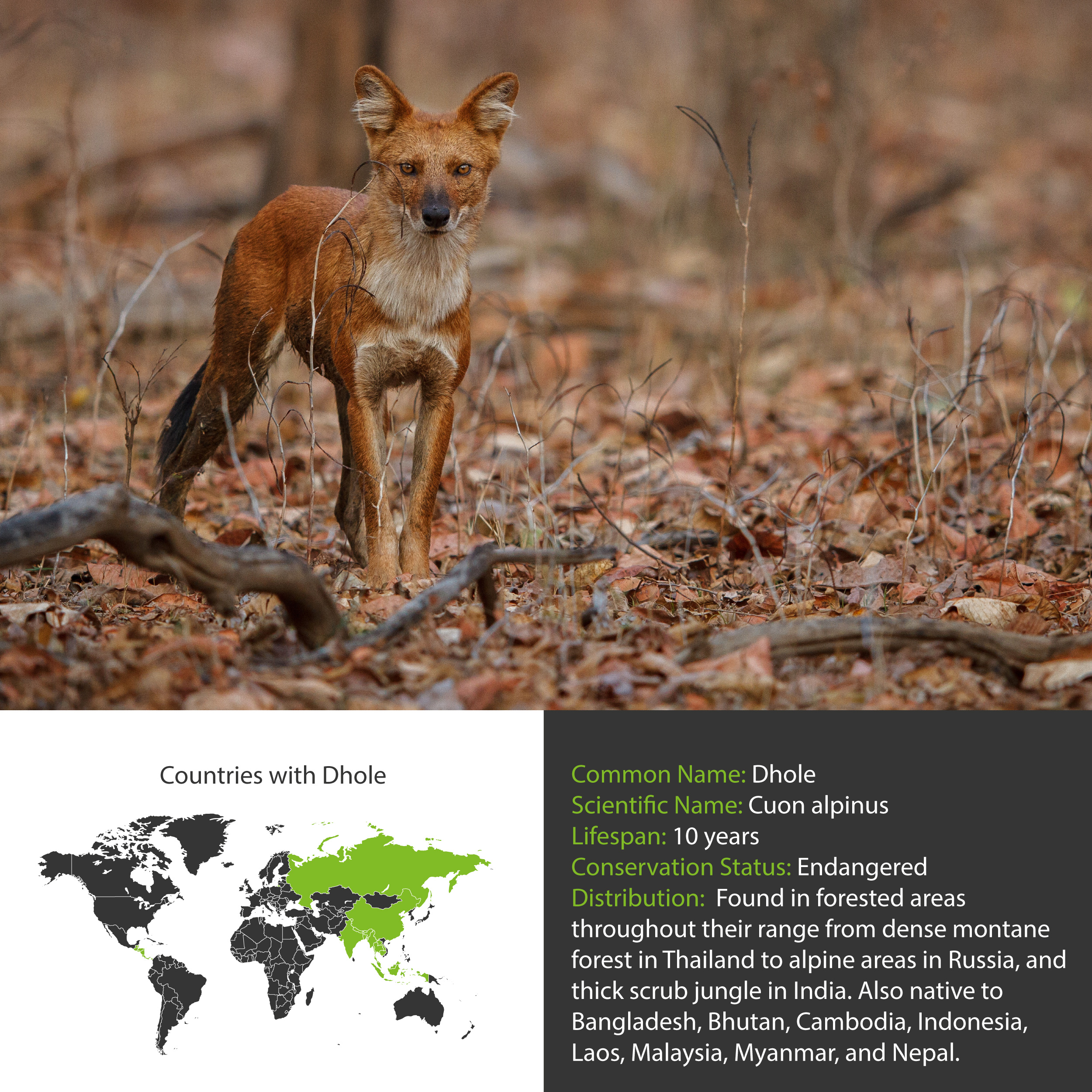 Dhole Distribution
