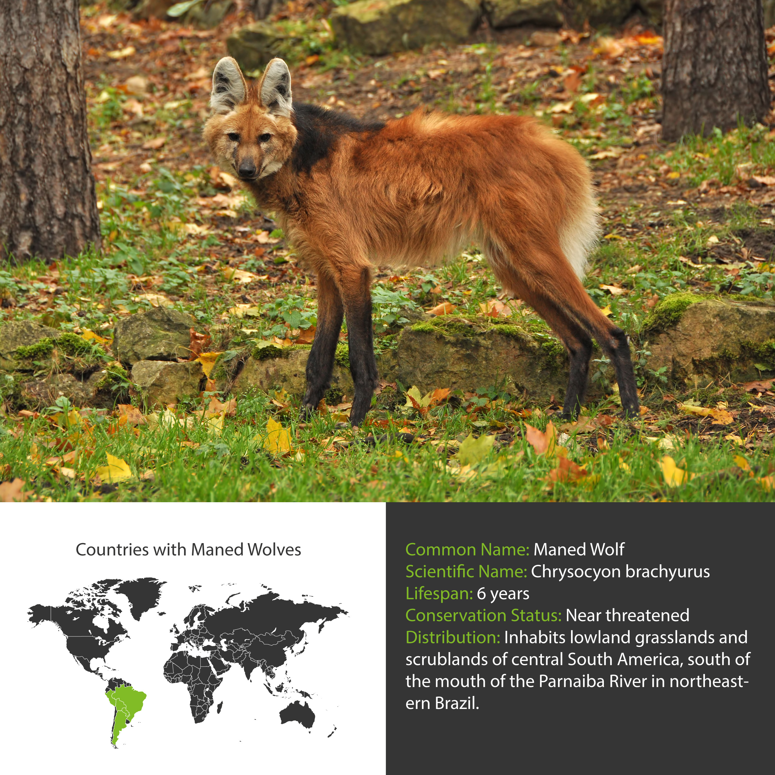 Maned Wolf Distribution