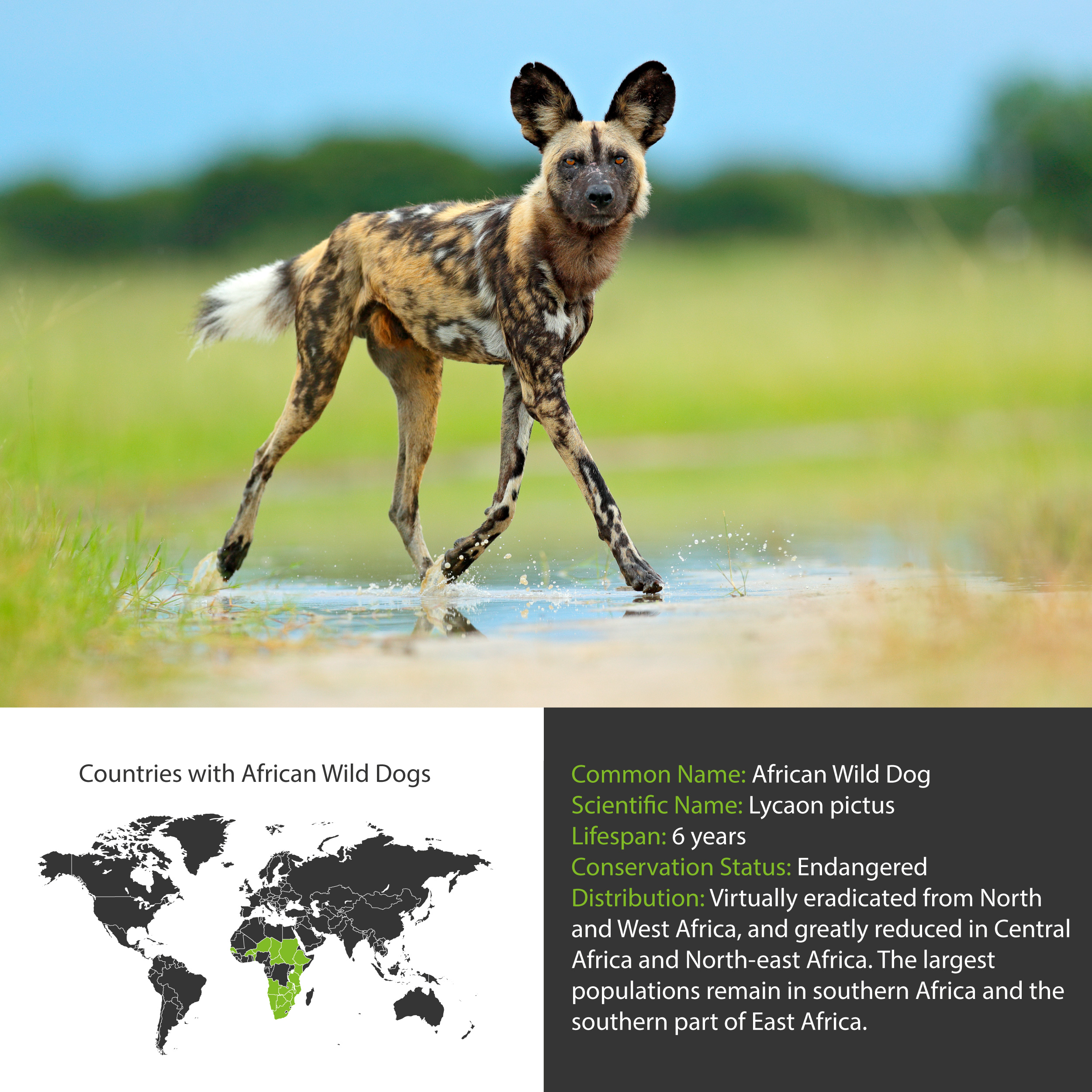 African Wild Dog Distribution