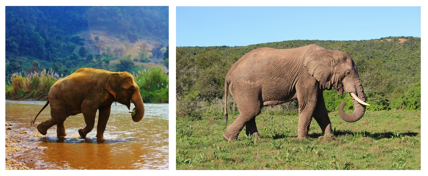 Note that the Asian elephant (left) is female and the African elephant (right) is male. Even when comparing similar photographs, it can be hard to gauge the difference in size.