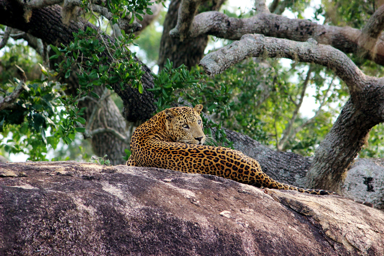 My first ever sighting of a wild Leopard. Yala National Park has the highest concentration of wild leopards in the world.