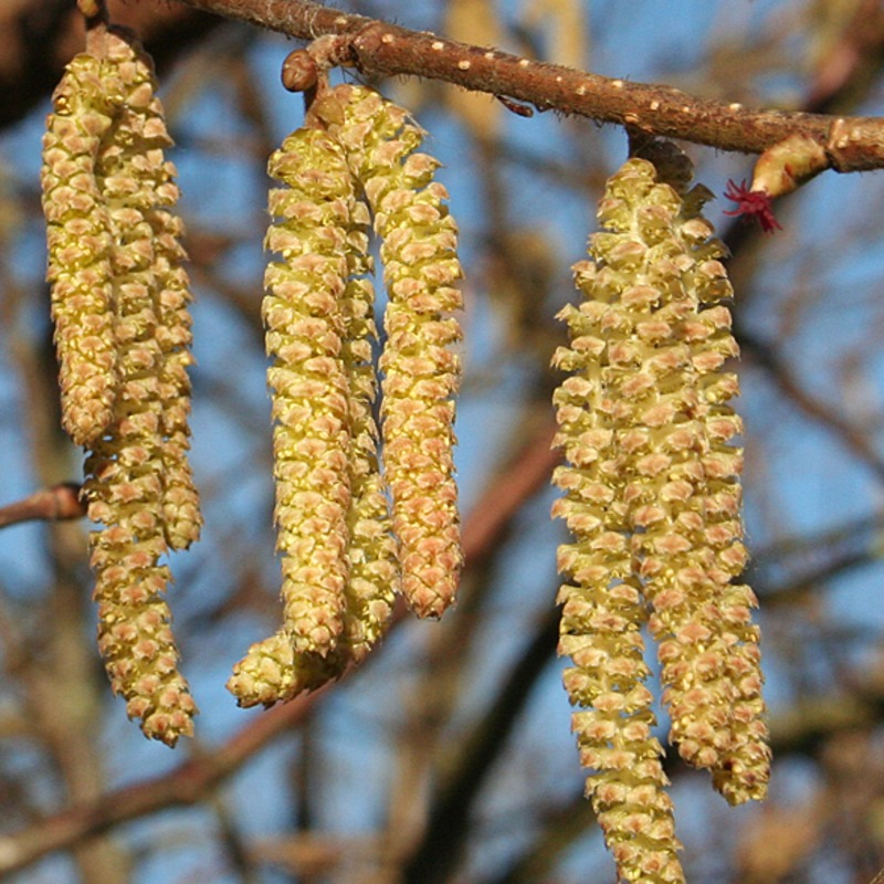 hazel catkins   The hazel tree is sensitive to temperature. Its catkins will only start to grow in spring when it becomes warm enough. Spring 2017 was so warm that catkins were spotted 29 days early!