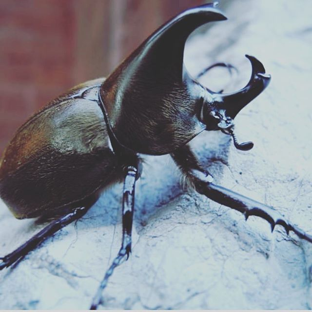 A giant rhino beetle the size of my palm just crawler out from under hubbys pillow & onto my hand. Thought it was a roach & screamed. Then paused to admire its good looks before scooping it to freedom outdoors... i assume he was wanting to speak to me about a role in #Goldenpaw. 📷@wwbeetlefarm (i was too busy screaming to snap a good one)