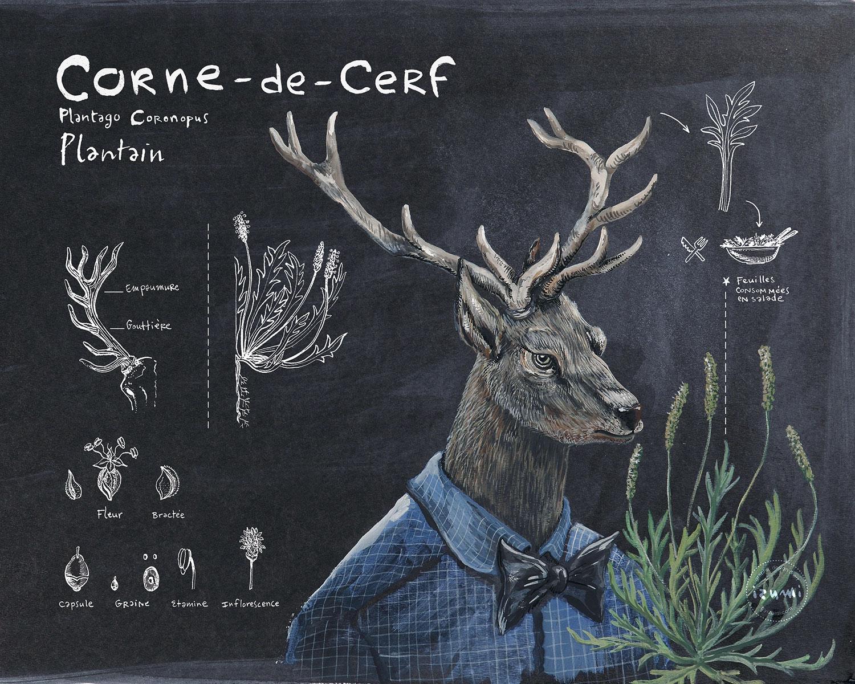 CORNE-DE-CERF_plantain_15X10.jpg