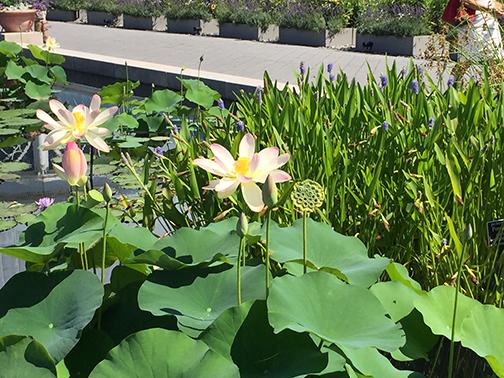 Waterlilies in bloom last week at NYBG.