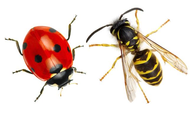 ladybug-wasp-shutterstock_167608928.jpg