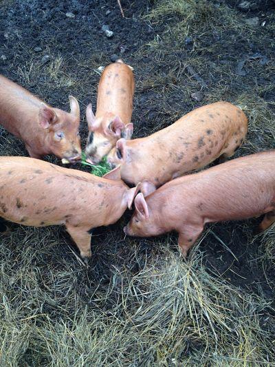 Pastured & Organic Grain Fed Pork