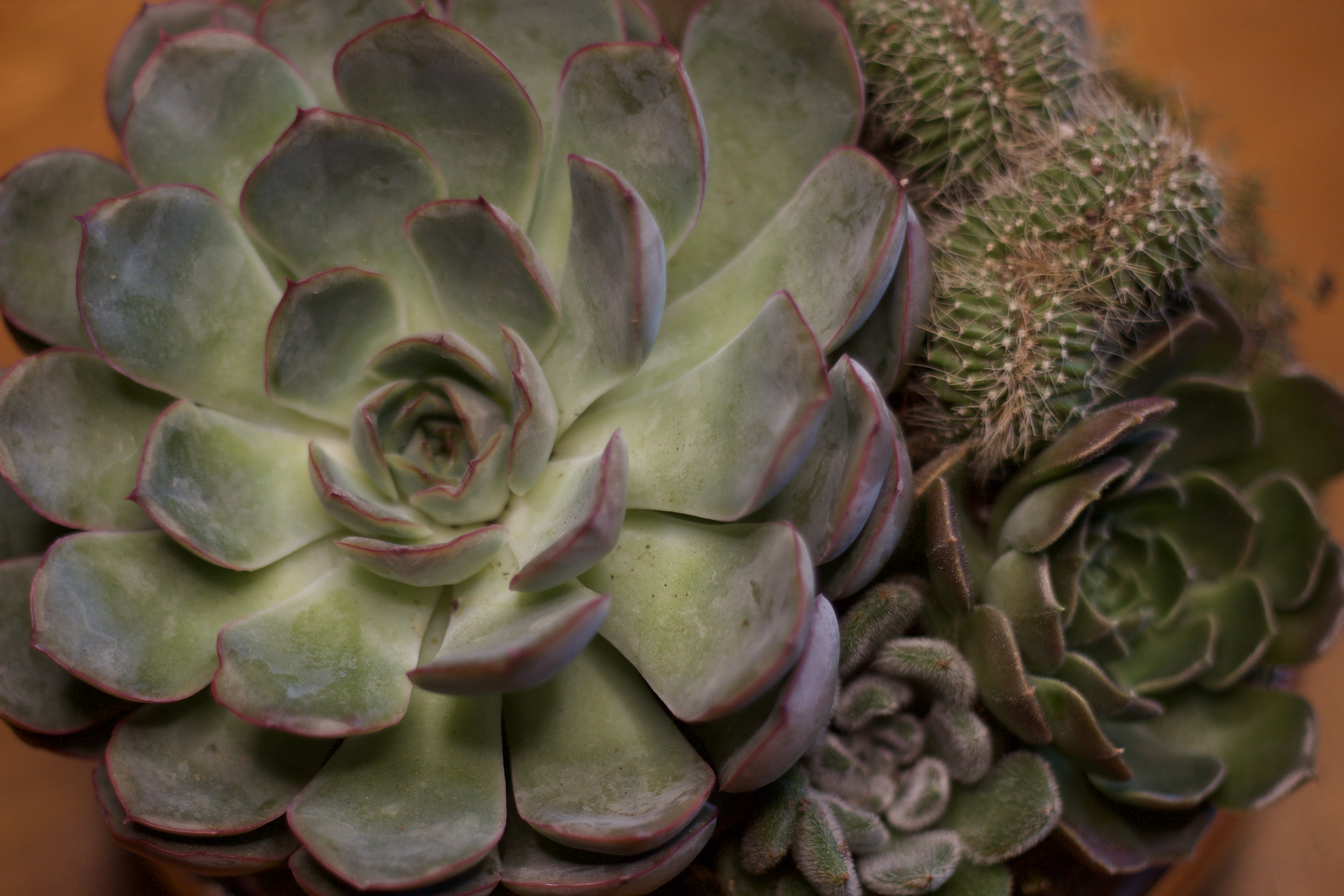 Philosophie Floral Succulent Close Up