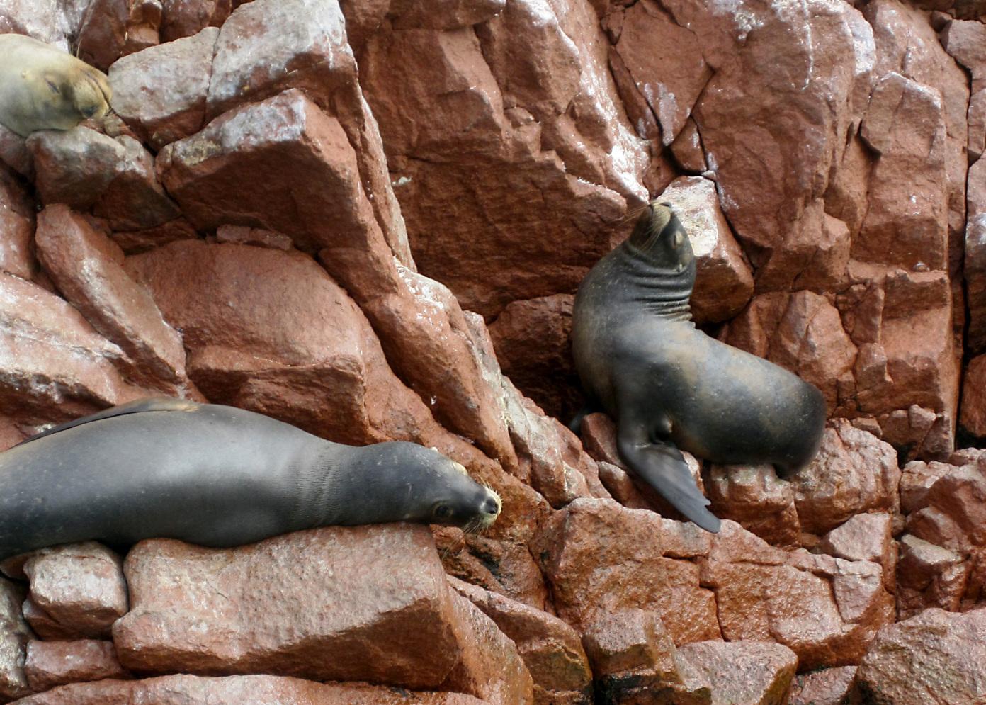 Dramatic sea lions