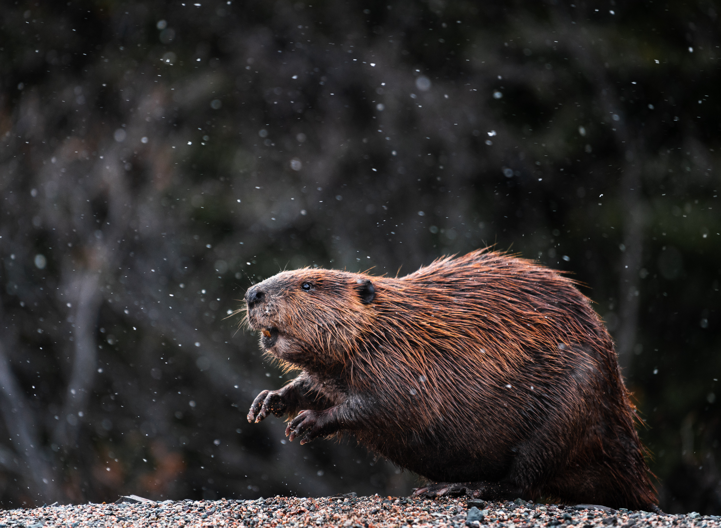 Snow Excited  // I found this beaver waddling around in a snowstorm on one of Newfoundland's remote peninsulas.