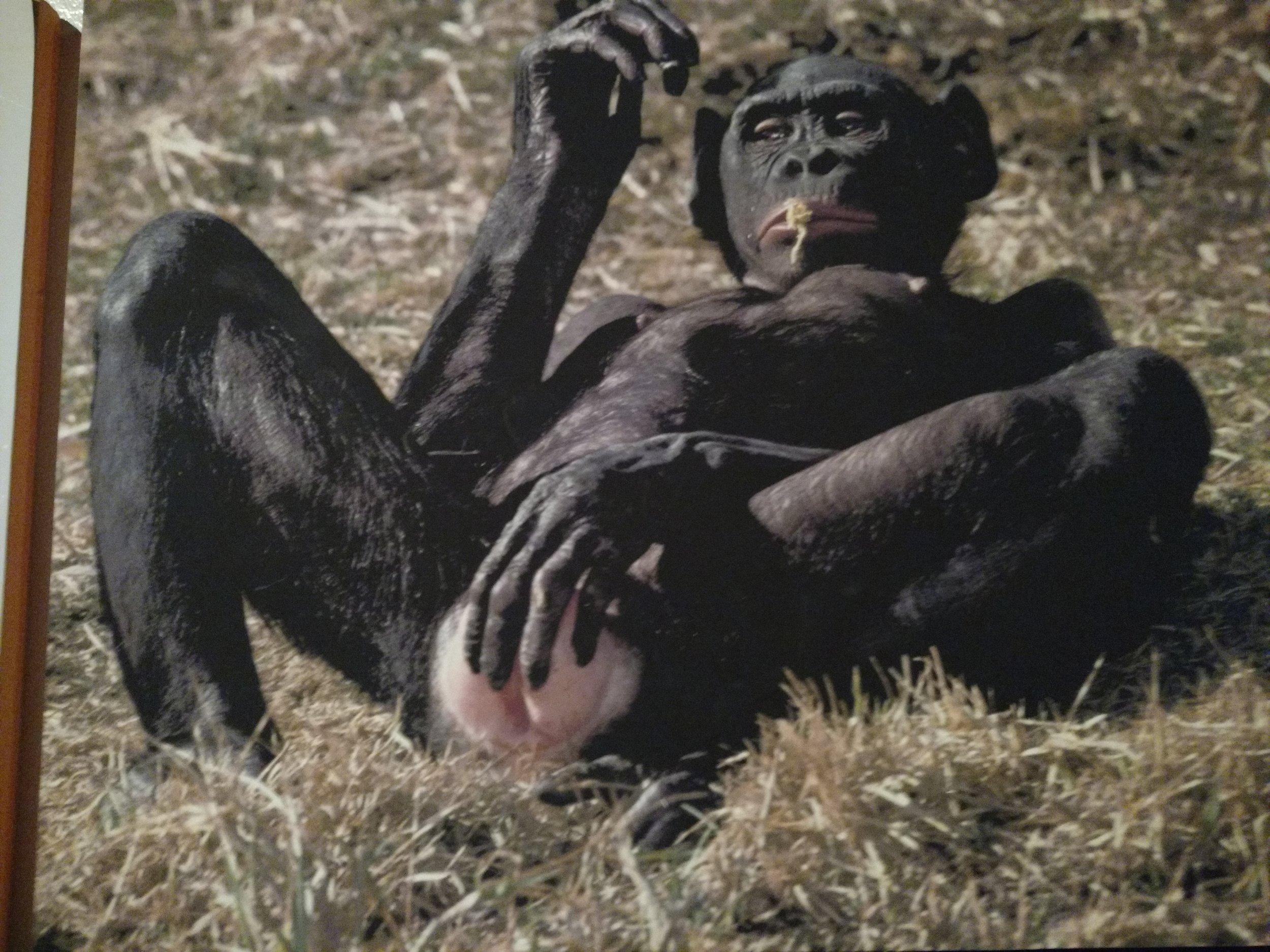 Masturbierendes Gorilla-Weibchen - wonderfull   http://www.museumofsex.com/portfolio_page/exhibition-animals/
