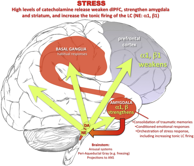 Under high stress there are high levels of catecholamine release in brain, which weaken prefrontal cortex function. Click to enlarge. Image  source .