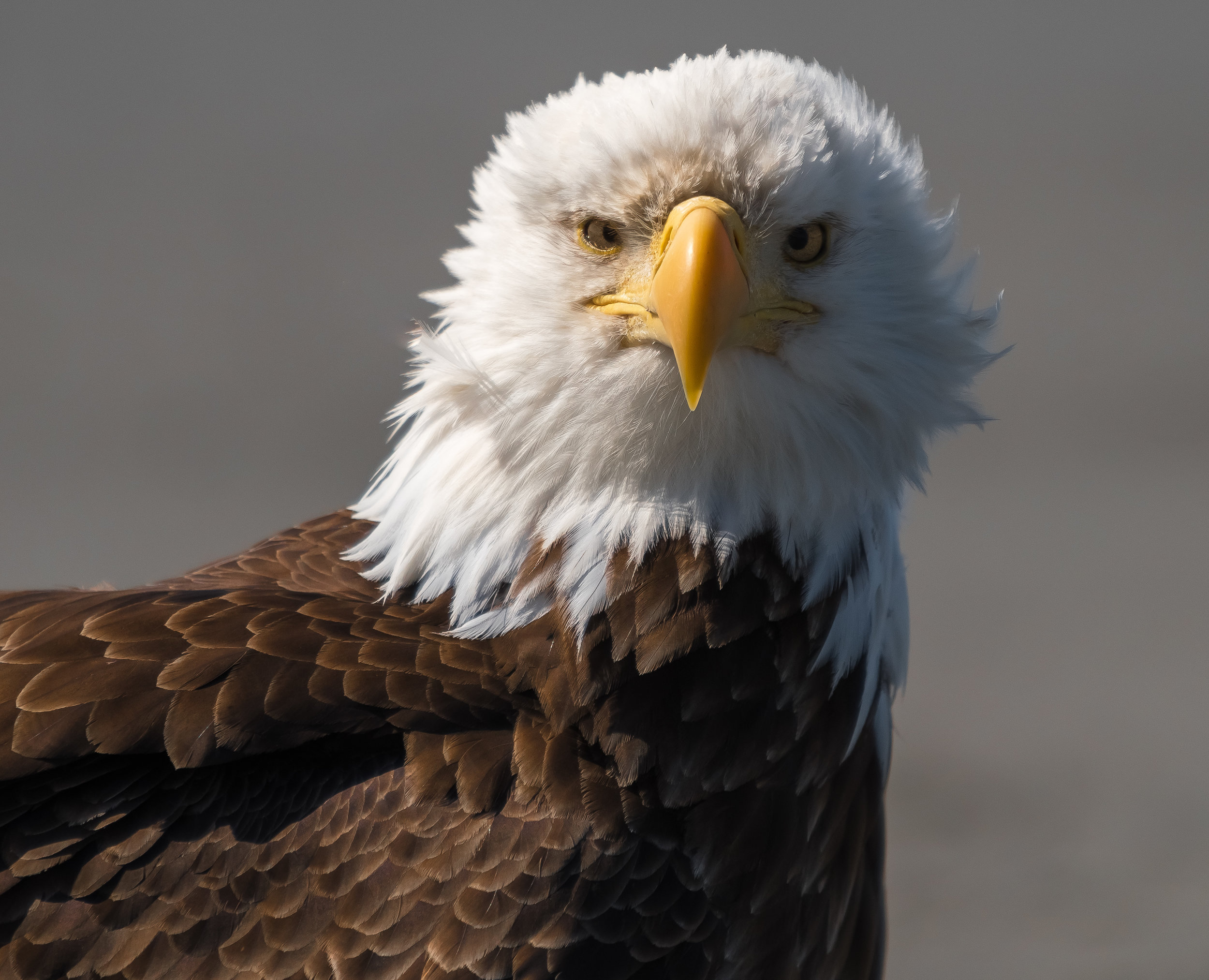 When you come to Homer, before you do your bear view or flightsee tour, you will see lots of these mighty eagles. The Bald Eagle, one of the symbols of the United States and we are proud to have so many here.