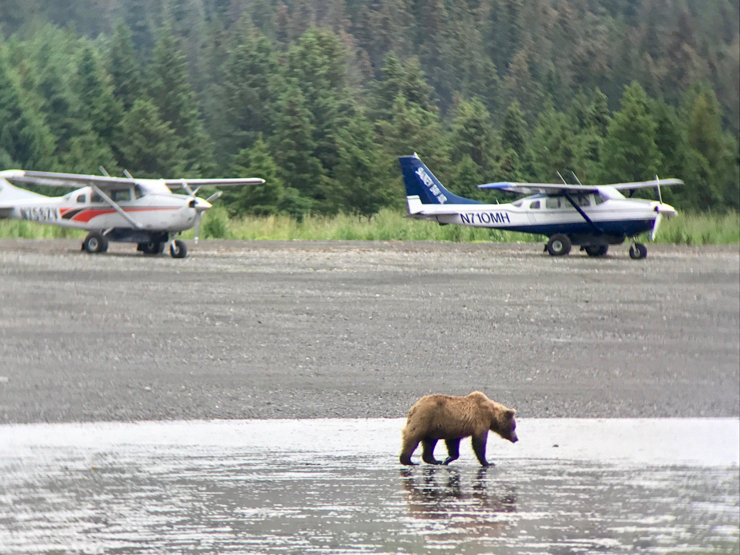 Alaskan bear viewing Kenai Peninsula