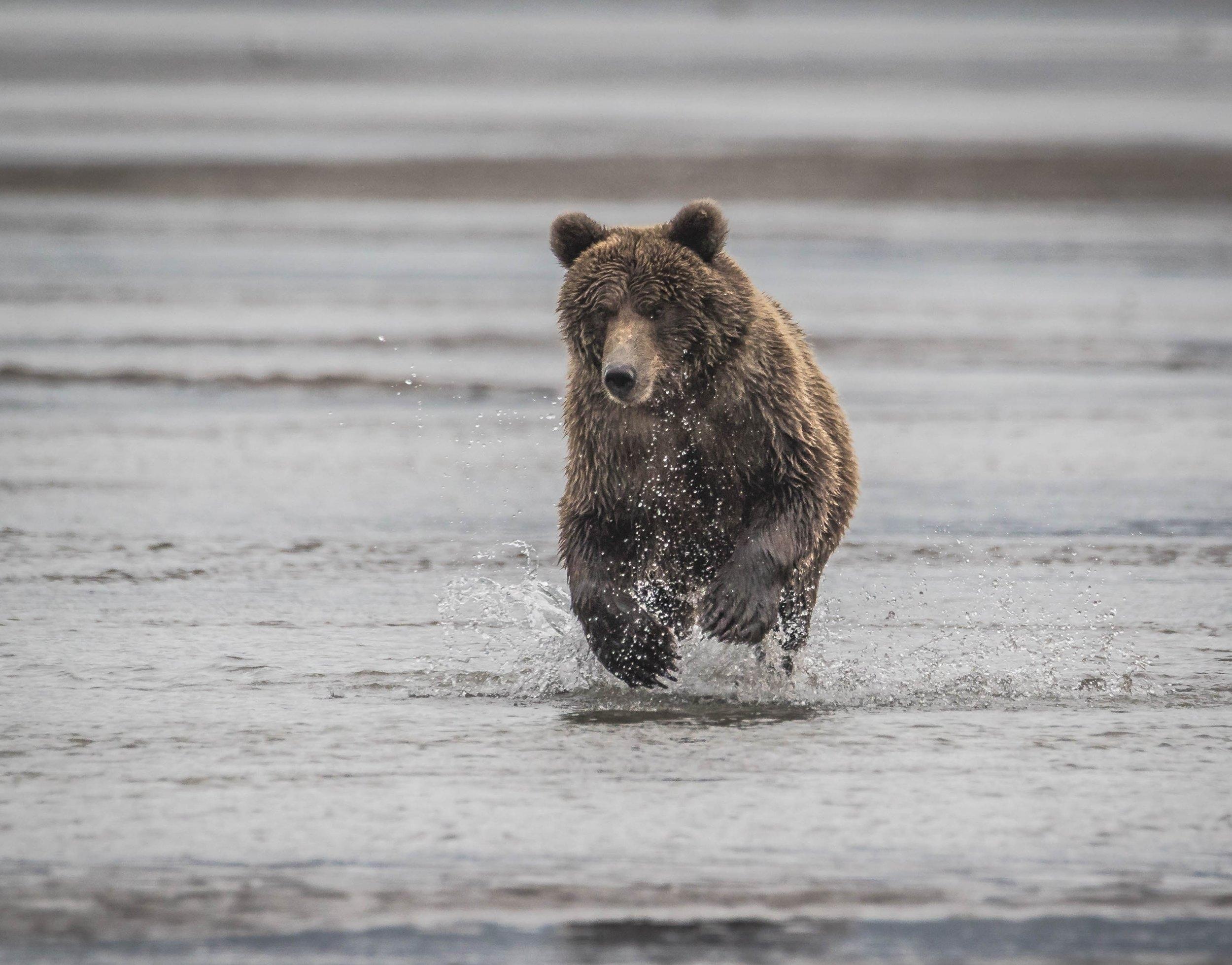 Lake Clark - Brown Bear Running Towards Camera (2 of 2).jpg