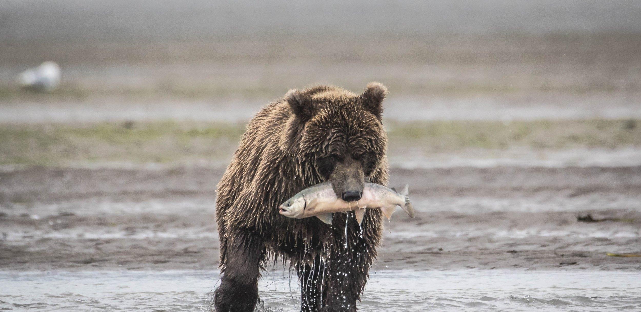Lake Clark - Brown Bear Hunting Alaskan Salmon (6 of 8).jpg