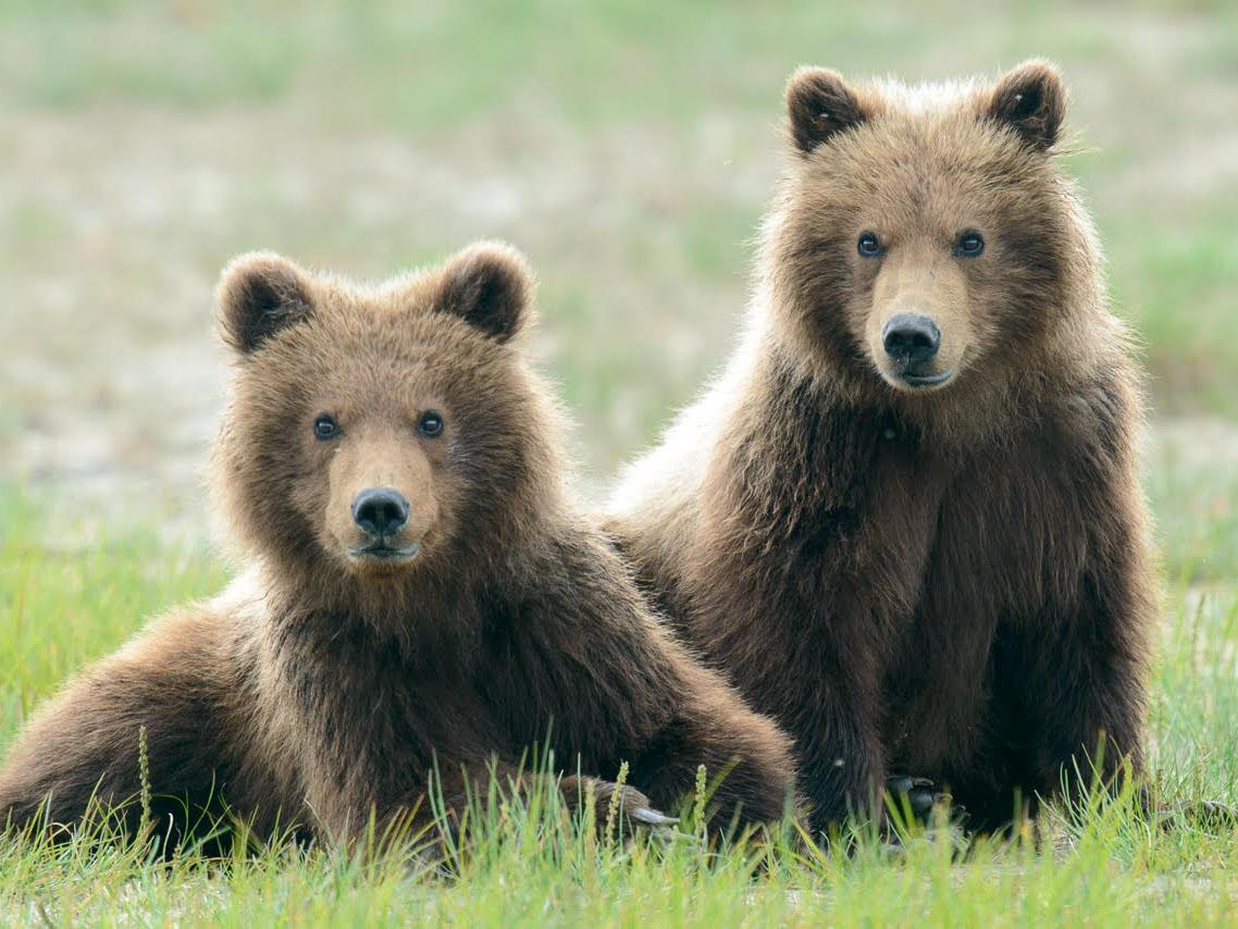 bearviewing_cubs.jpg