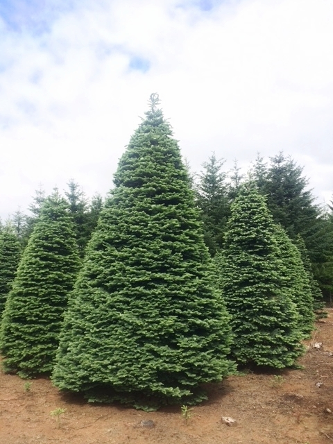 New Noble Fir.jpg