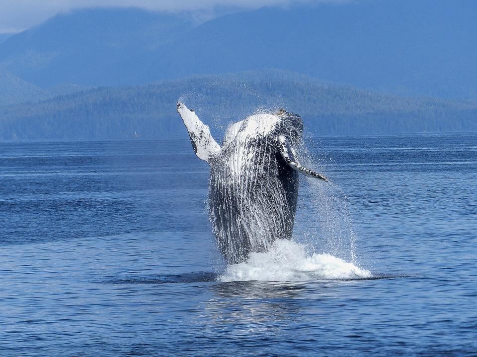 humpback-whale-431902_960_720.jpg