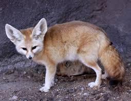 Fennec Fox1.jpg