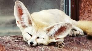Fennec Fox3.jpg