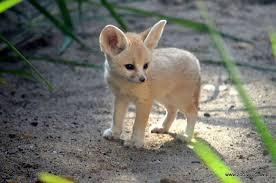 Fennec Fox2.jpg