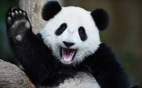 Giant Panda1.jpg