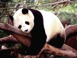 Giant Panda3.jpg