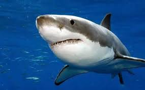 great white1.jpg