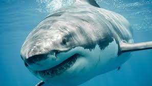 great white2.jpg