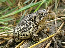 Wyomng toad1.jpg