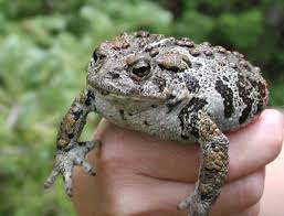Wyoming toad2.jpg