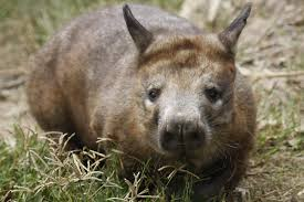 hairy nosed wombat1.jpg