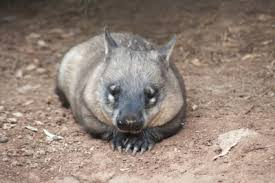hairy nosed wombat3.jpg