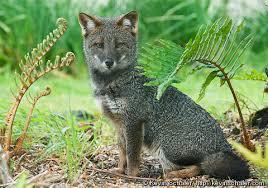 darwins fox2.jpg
