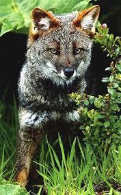 darwins fox3.jpg