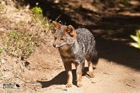DArwins fox1.jpg