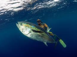 blue fin tuna3.jpg