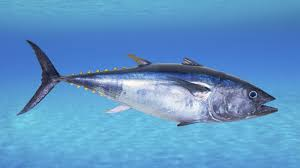 bluefin tuna1.jpg