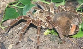 tarantula1.jpg