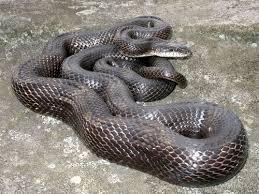 rat snake2.jpg