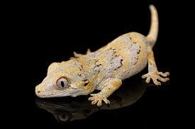 gecko4.jpg