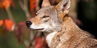 red wolf1.jpg